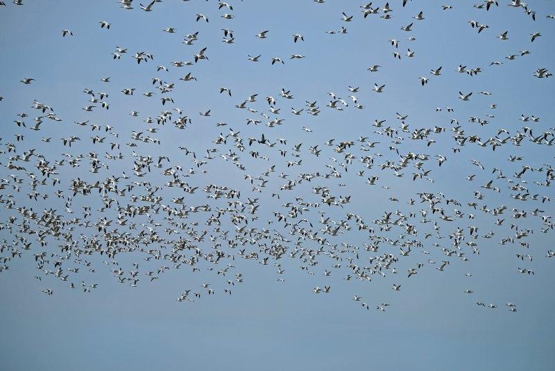 _snow-geese_810_7599