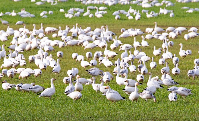 Snow Geese_Cropped_DSC_4093