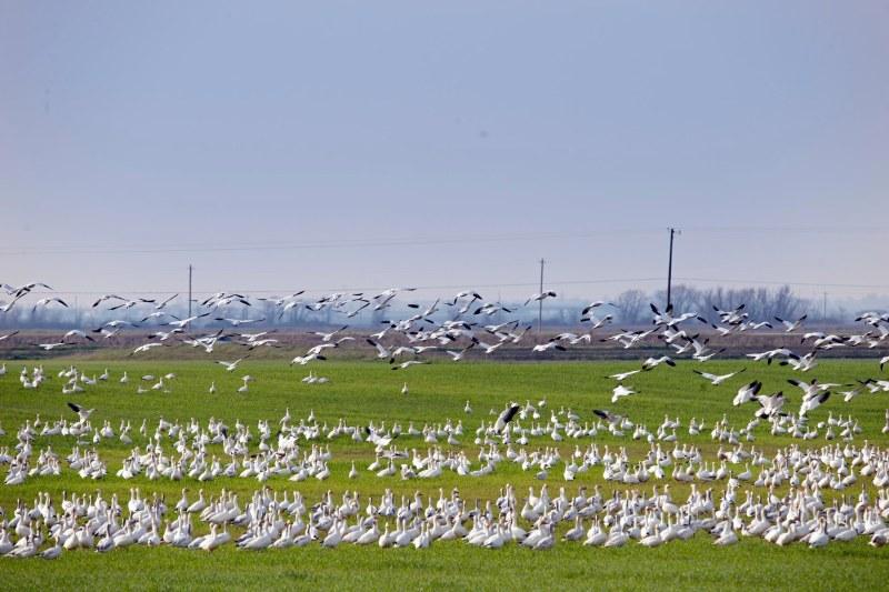 Snow Geese_DSC_4078