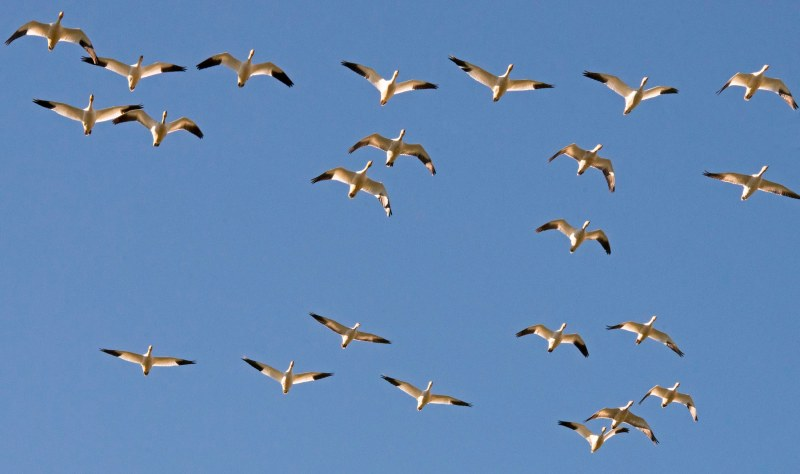 Snow Geese_Flight_DSC_3784