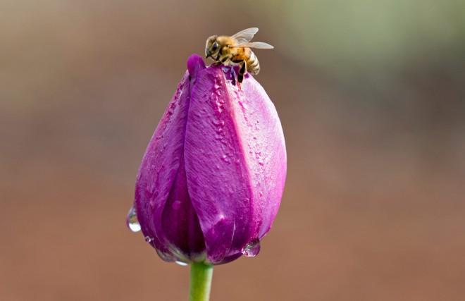 Tulip_Bee_DSC_4163