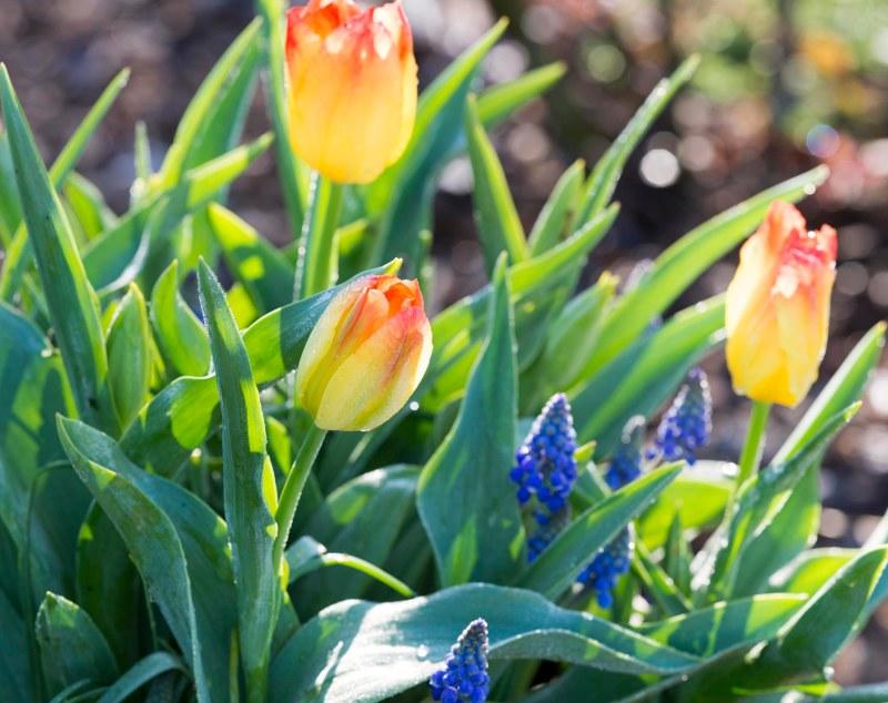 Tulip_Grape Hyacinth