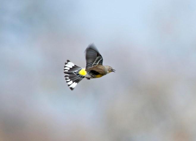Yellow_Rumped_Warbler_DSC_3269