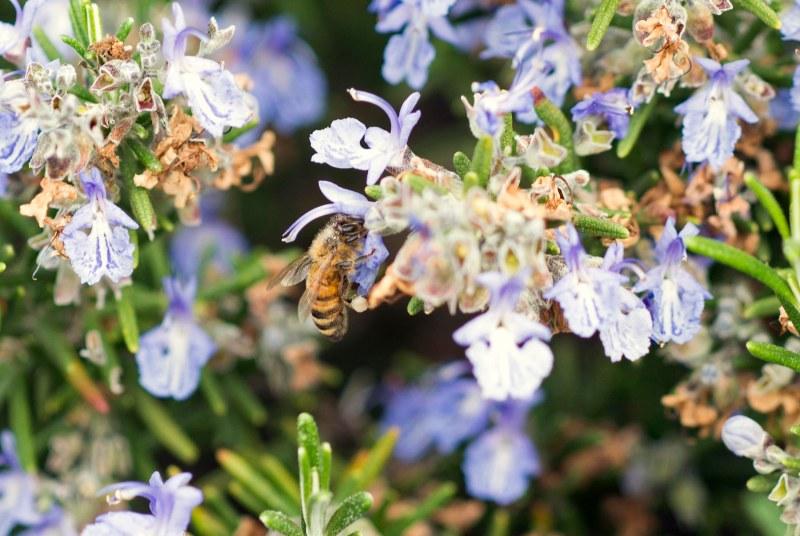 Bee_DSC_6420