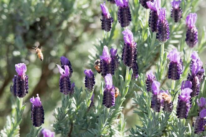 Bees_Lavender_750_5148