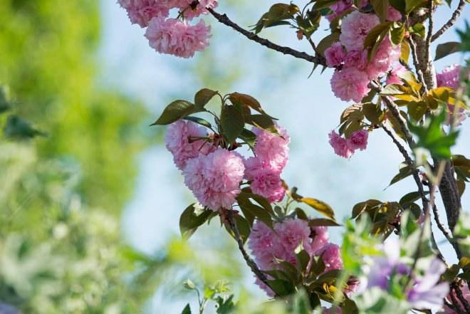 Flowering Tree_DSC_7556