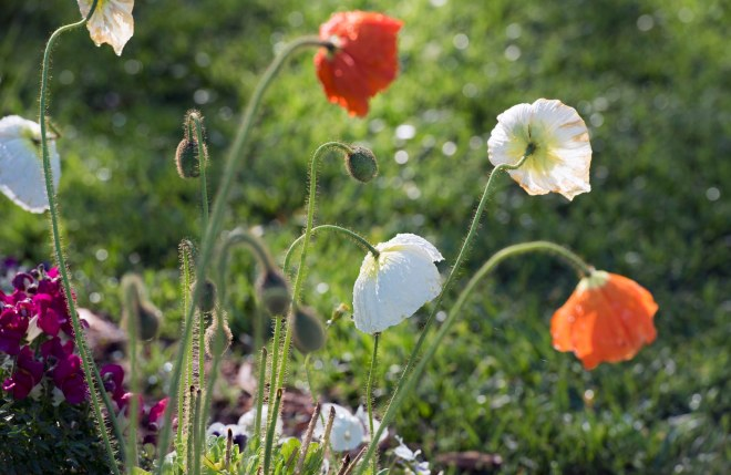 Iceland Poppies_750_5058