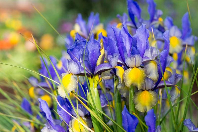 Irises_DSC_6800