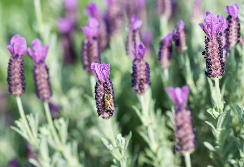 Lavender_DSC_6977
