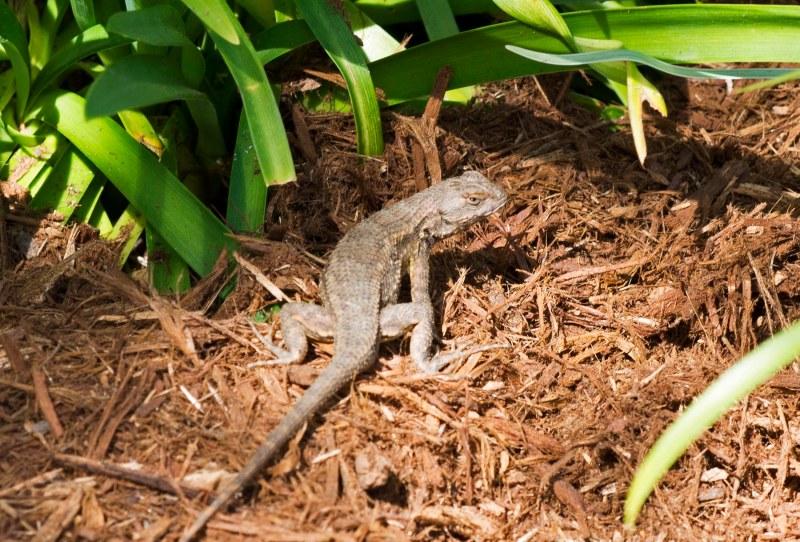 Lizard_DSC_6850