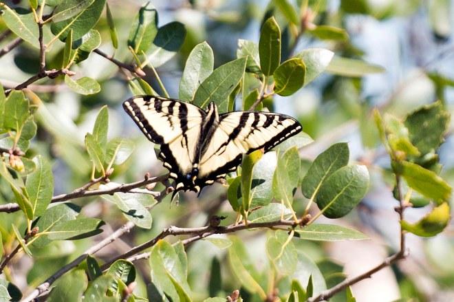 Swallow Tail Butterfly_DSC_6355