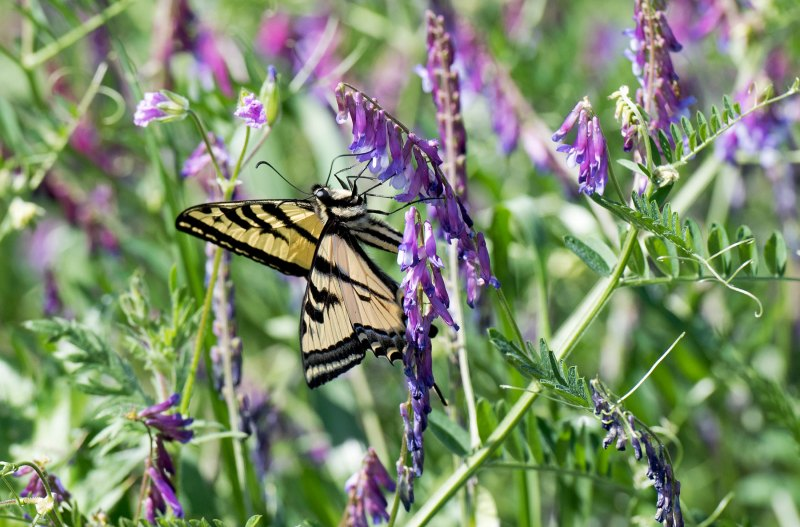 SwallowTail_Butterfly_750_5306