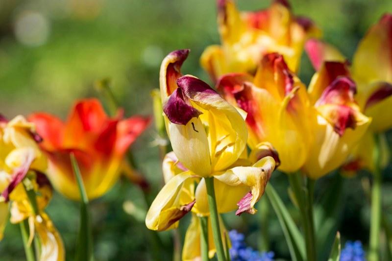 Tulips_DSC_6131