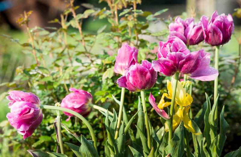 Tulips_DSC_6783