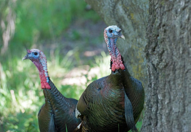 Turkeys_DSC_7428
