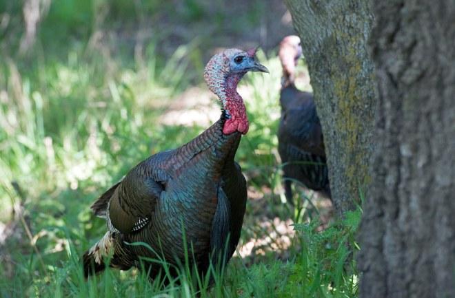 Turkeys_DSC_7436