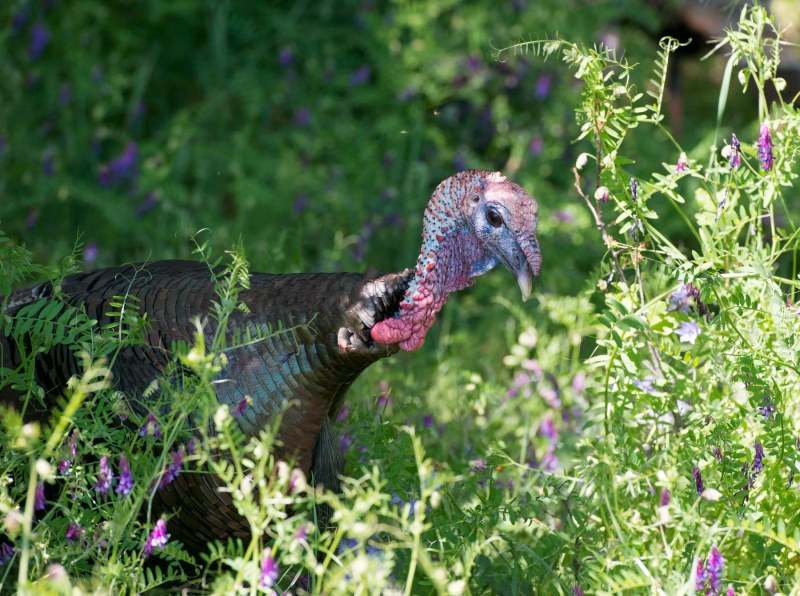 Turkeys_DSC_7470