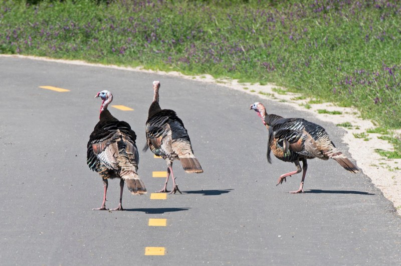 Turkeys_DSC_7490