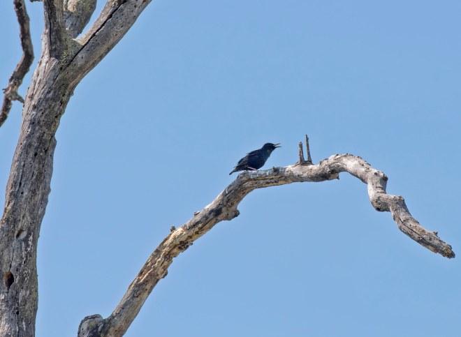 Bird on Limb_750_5825