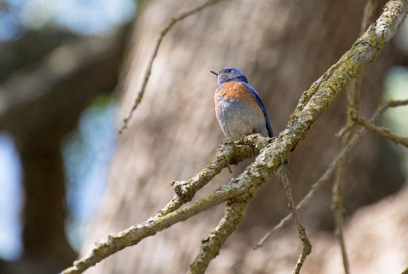 Bluebird_750_6058