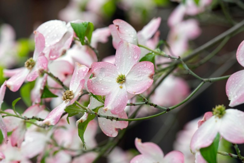 Dogwood Blossom_DSC_7899