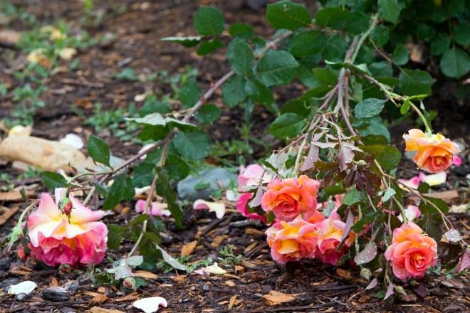 Fallen_Roses_DSC_8391