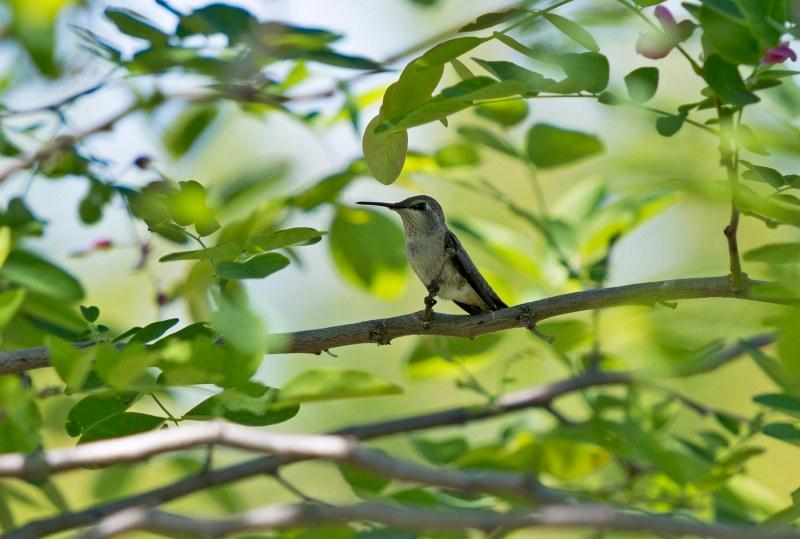 Hummingbird_DSC_8303