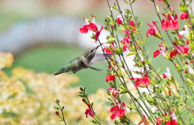 Hummingbird_DSC_8579