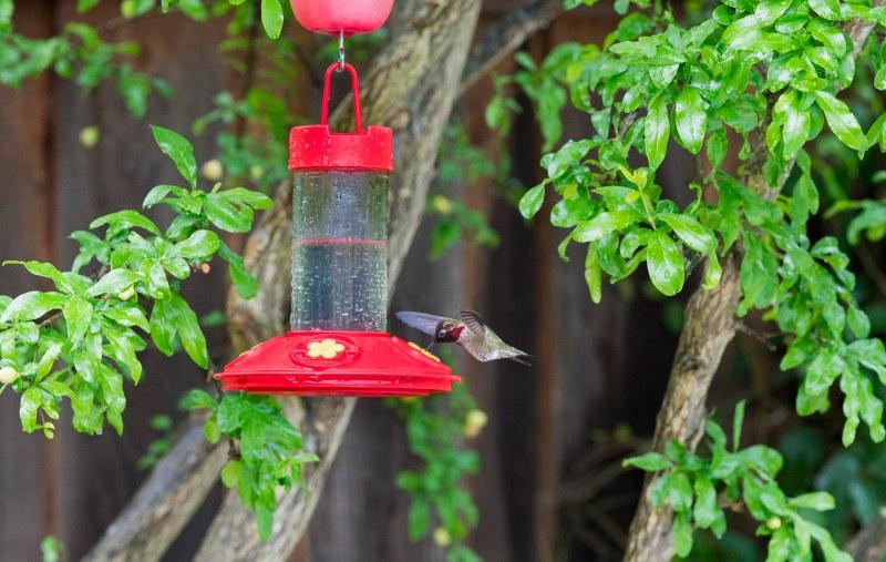 Hummingbird_Rain_DSC_7893