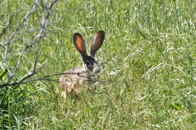 Jack Rabbit_750_5894
