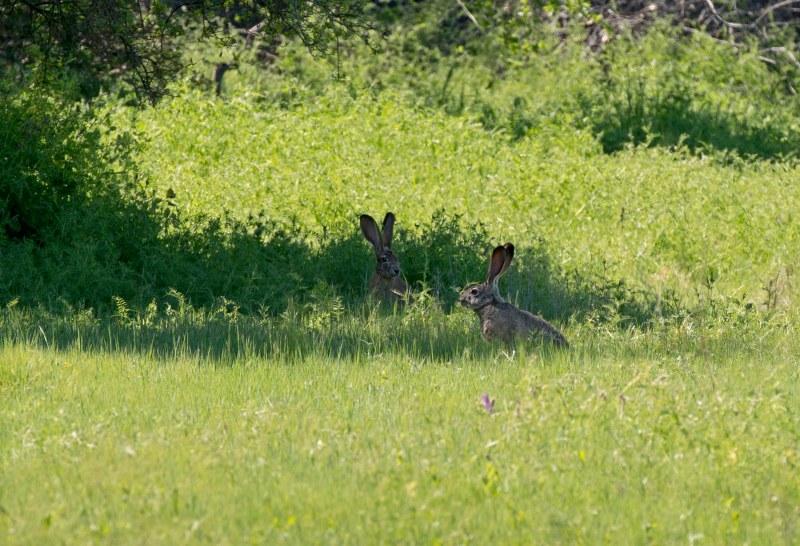 Jack Rabbits_DSC_7343