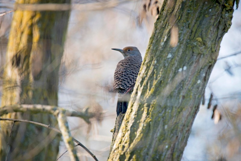Northern Flicker_DSC_1377