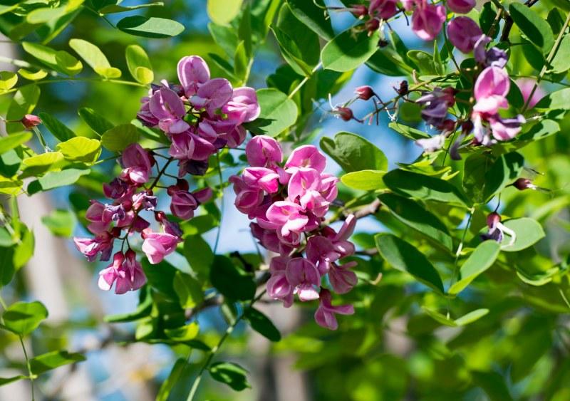 Purple Rube Locust Tree_DSC_8264