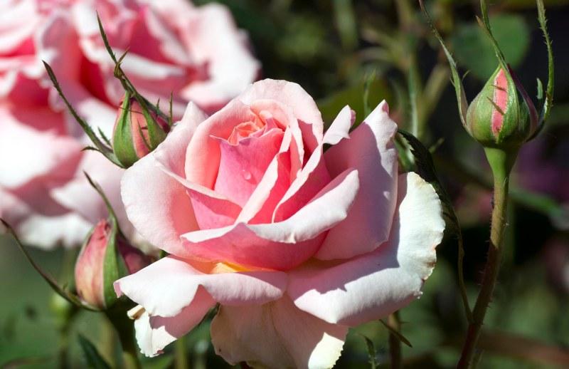Rose_Drop_DSC_8667