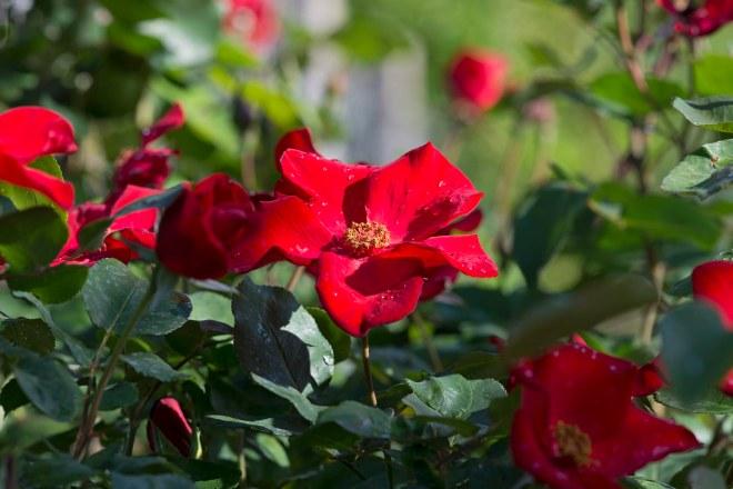 Rose_DSC_8009