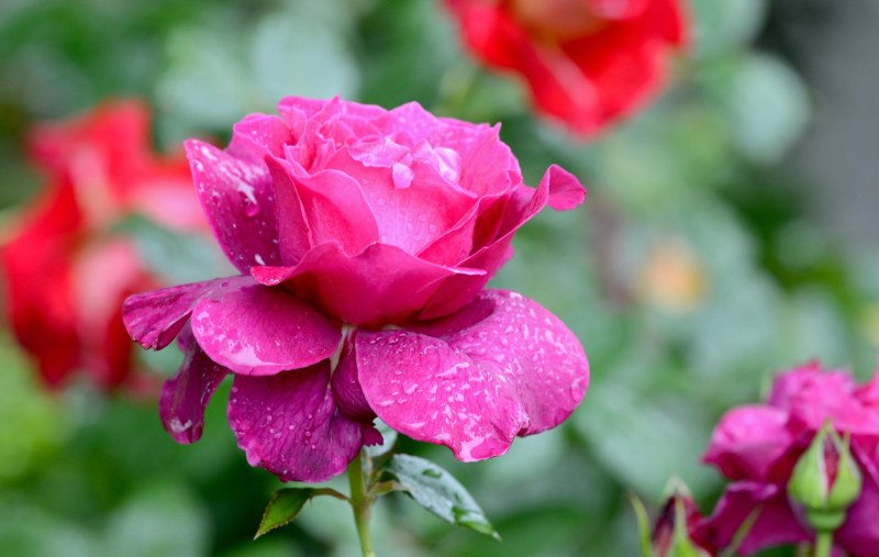 Rose_Rain_DSC_7911