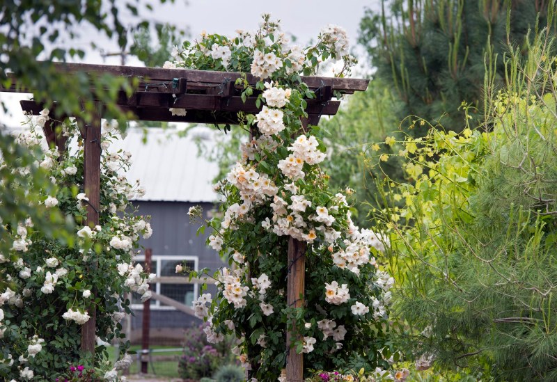 Roses_Arbor_DSC_8394