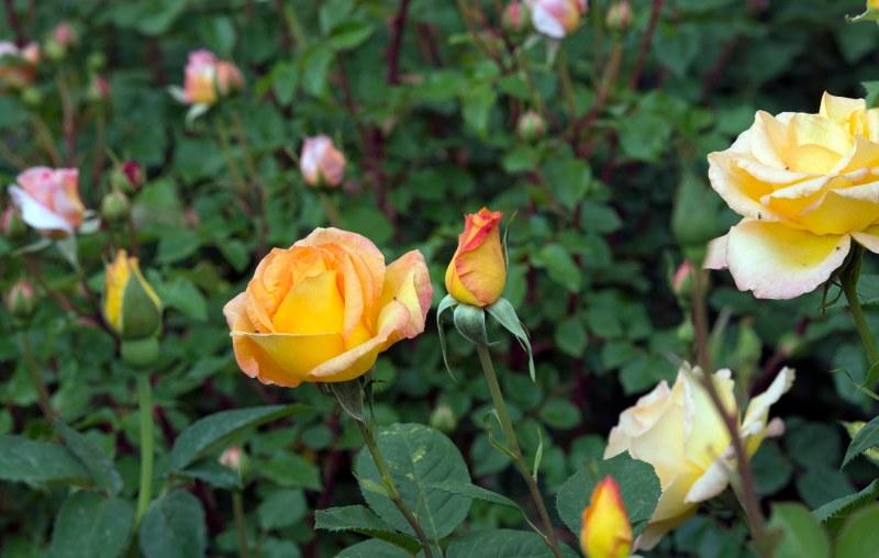 Roses_DSC_7848