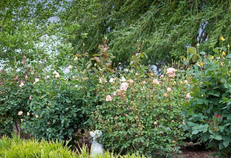 Roses_DSC_7868