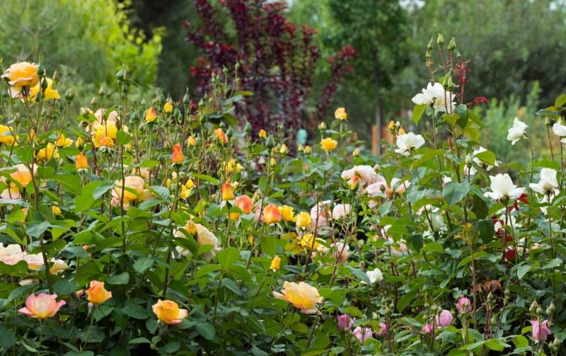 Roses_DSC_7981