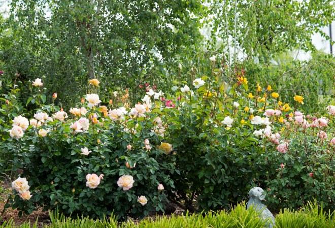 Roses_DSC_7987