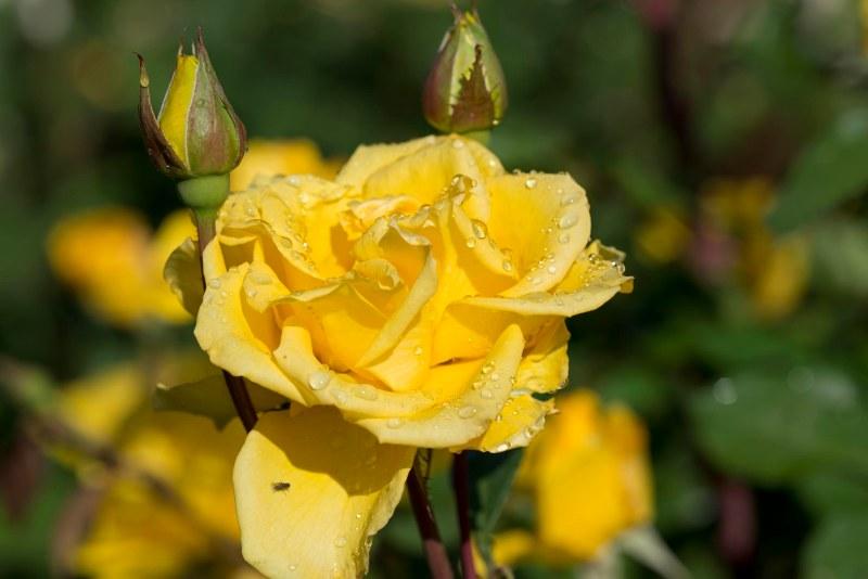 Roses_DSC_7998