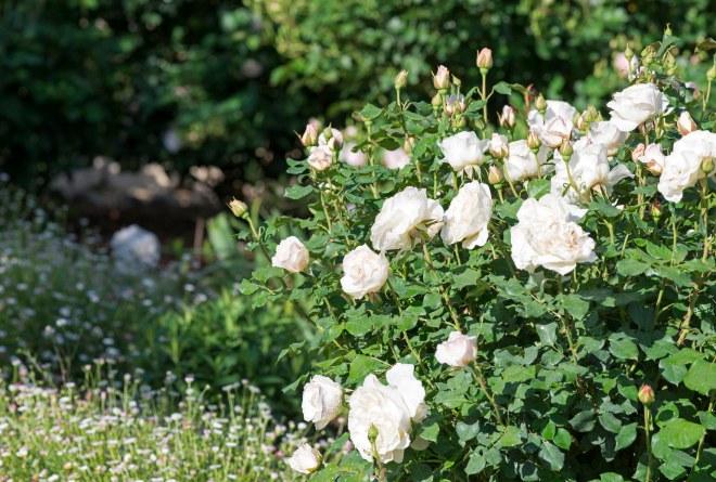 Roses_DSC_8004