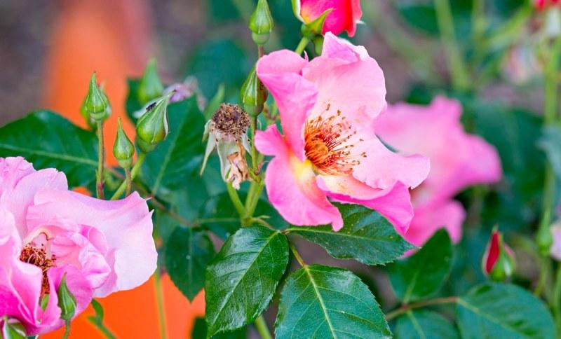 Roses_DSC_8008