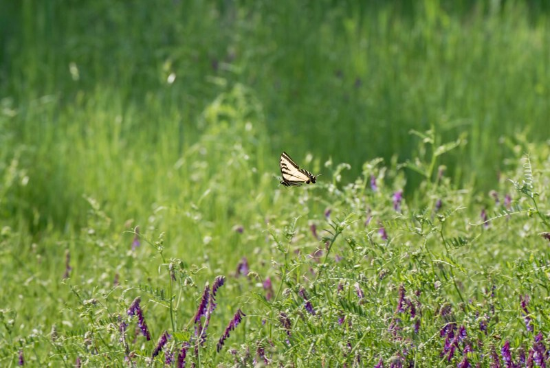 SwallowTail_Butterfly_750_5296
