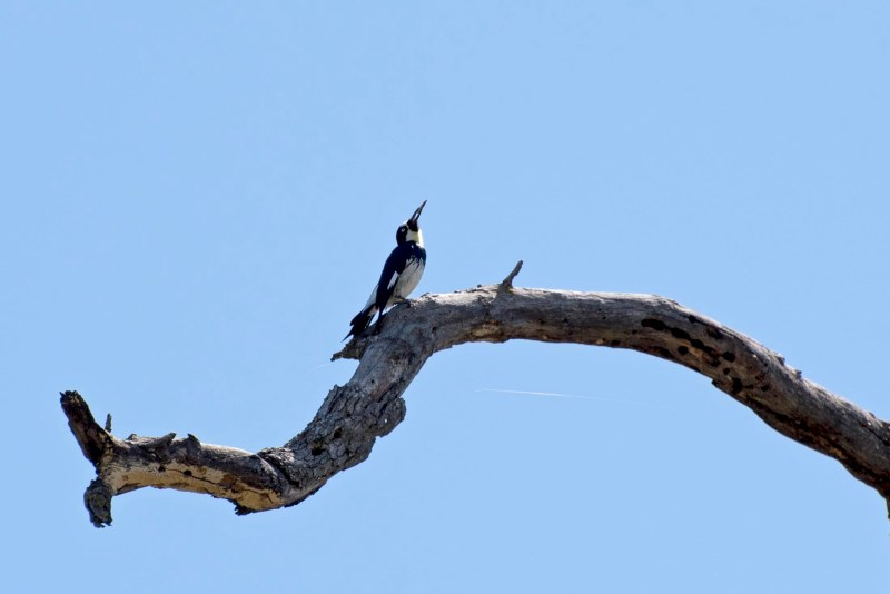 Woodpecker_750_5880
