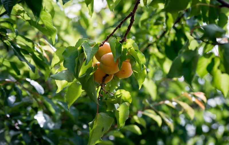 Apricots_DSC_0606