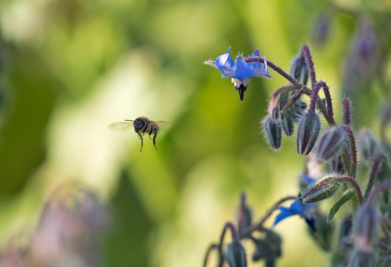 Bee_Borage_750_6202