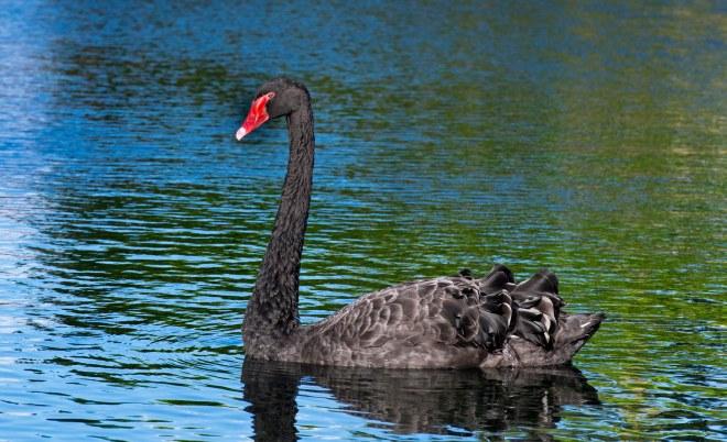 Black_Swan_DSC_9387