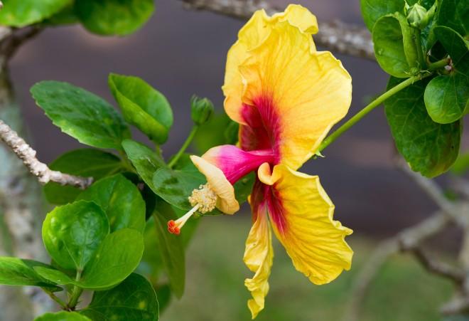 Hibiscus_Kauai_DSC_9541
